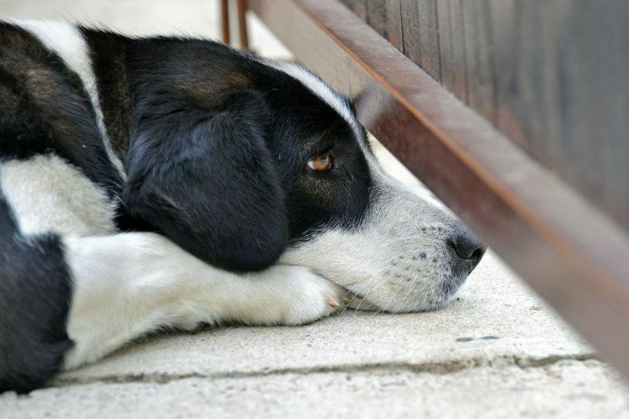 Ansiedade canina: Cachorro escondido atrás de mobília para fugir do barulho