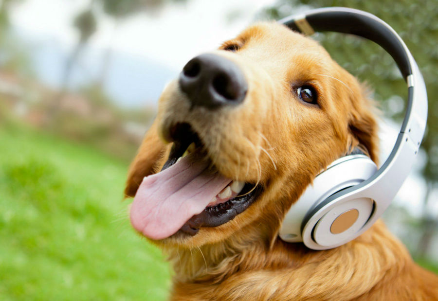 Ansiedade canina: Golden Retriever de fones de ouvido para repelir barulhos ou se acostumar com eles