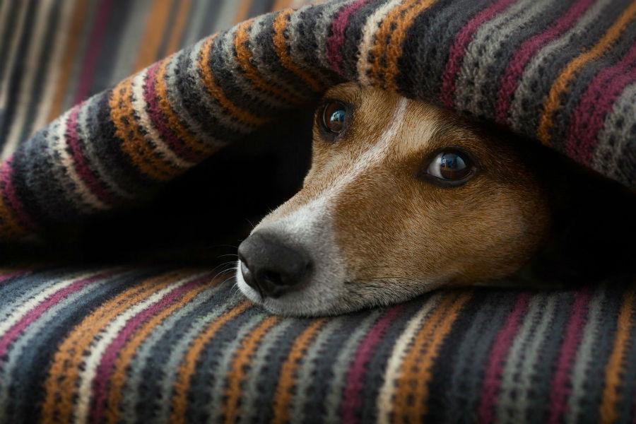 Ansiedade canina: Cão escondido entre as cobertas com medo de barulho.