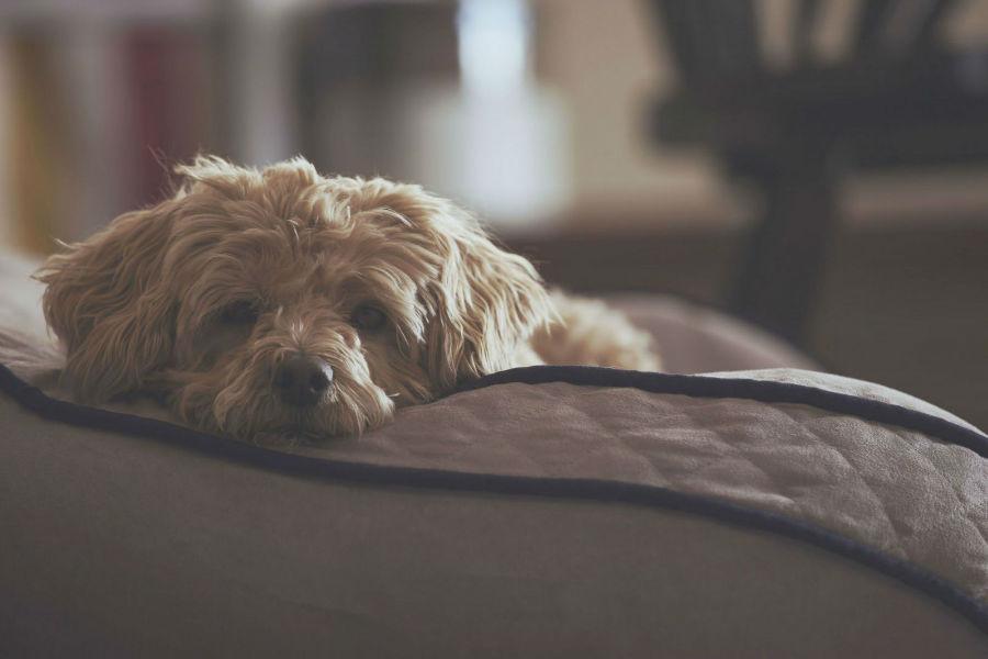 Ansiedade canina: Cachorro com medo de barulho em dia de tempestade.