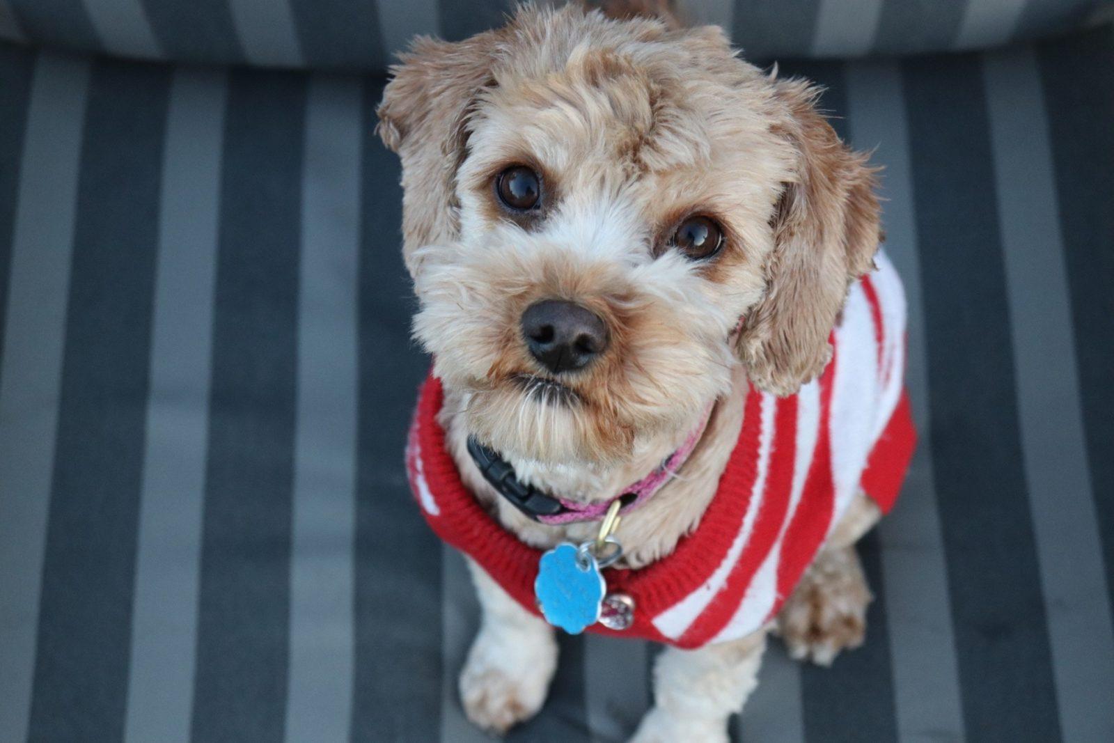 É precio dar o antipulgas comprimido para o cachorro e tratar o ambiente.