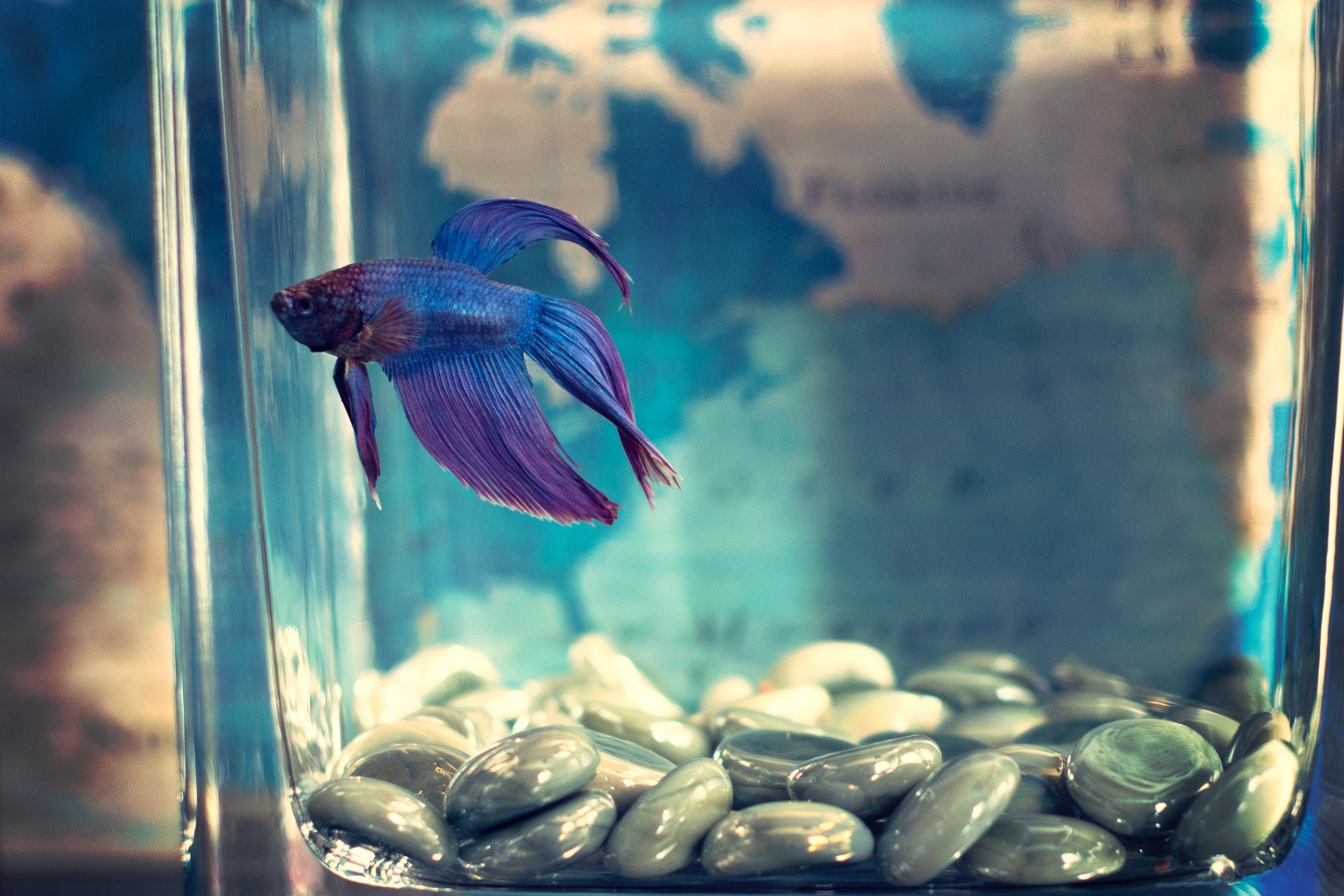 aquário para peixe beta