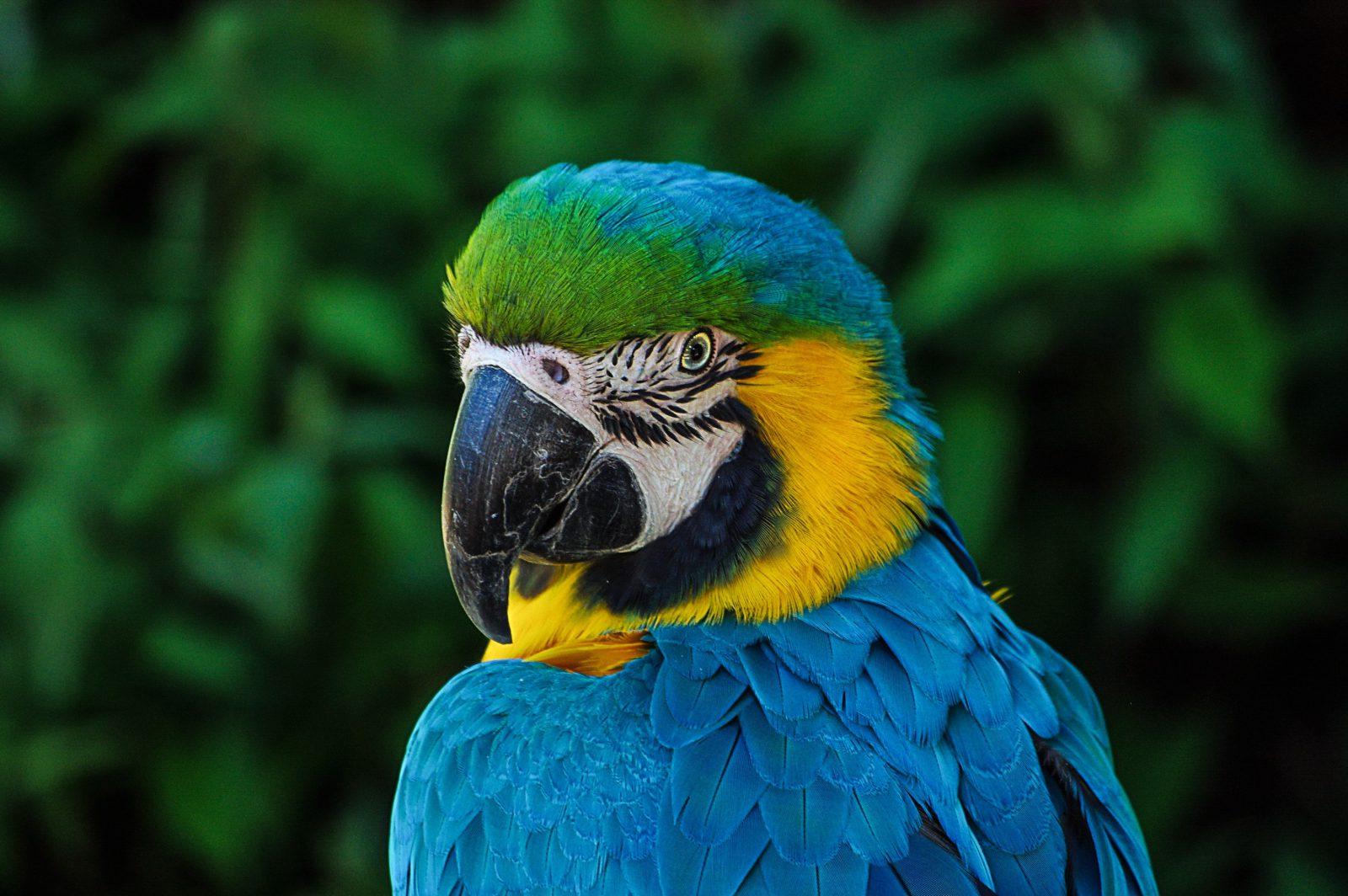 A arara azul é parente dos periquitos, papagaios e maritacas.