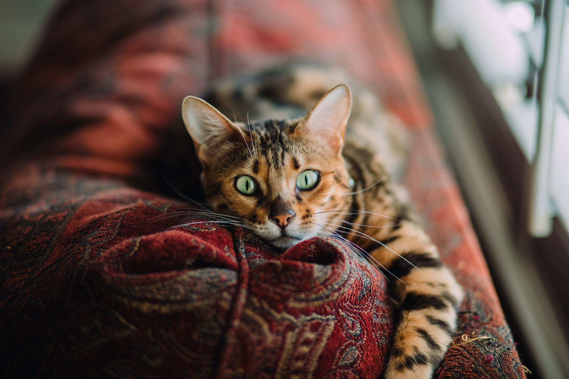 gato deitado na almofada do sofá