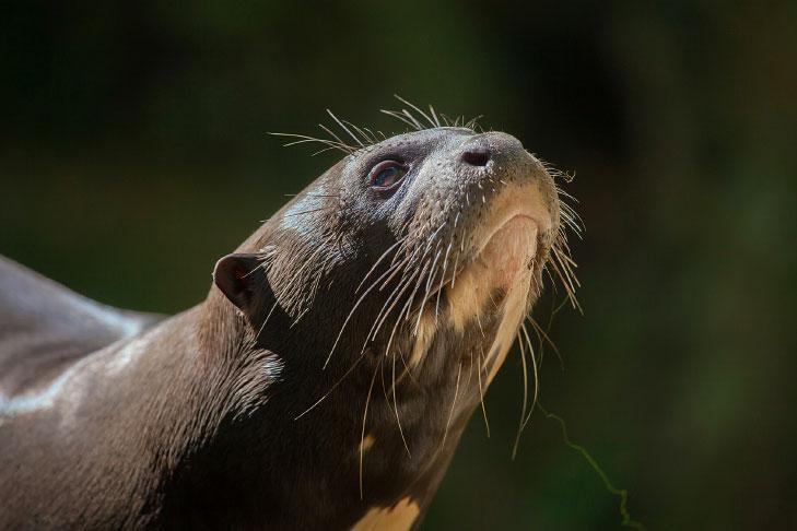 A ariranha é um dos animais em extinção no Brasil.