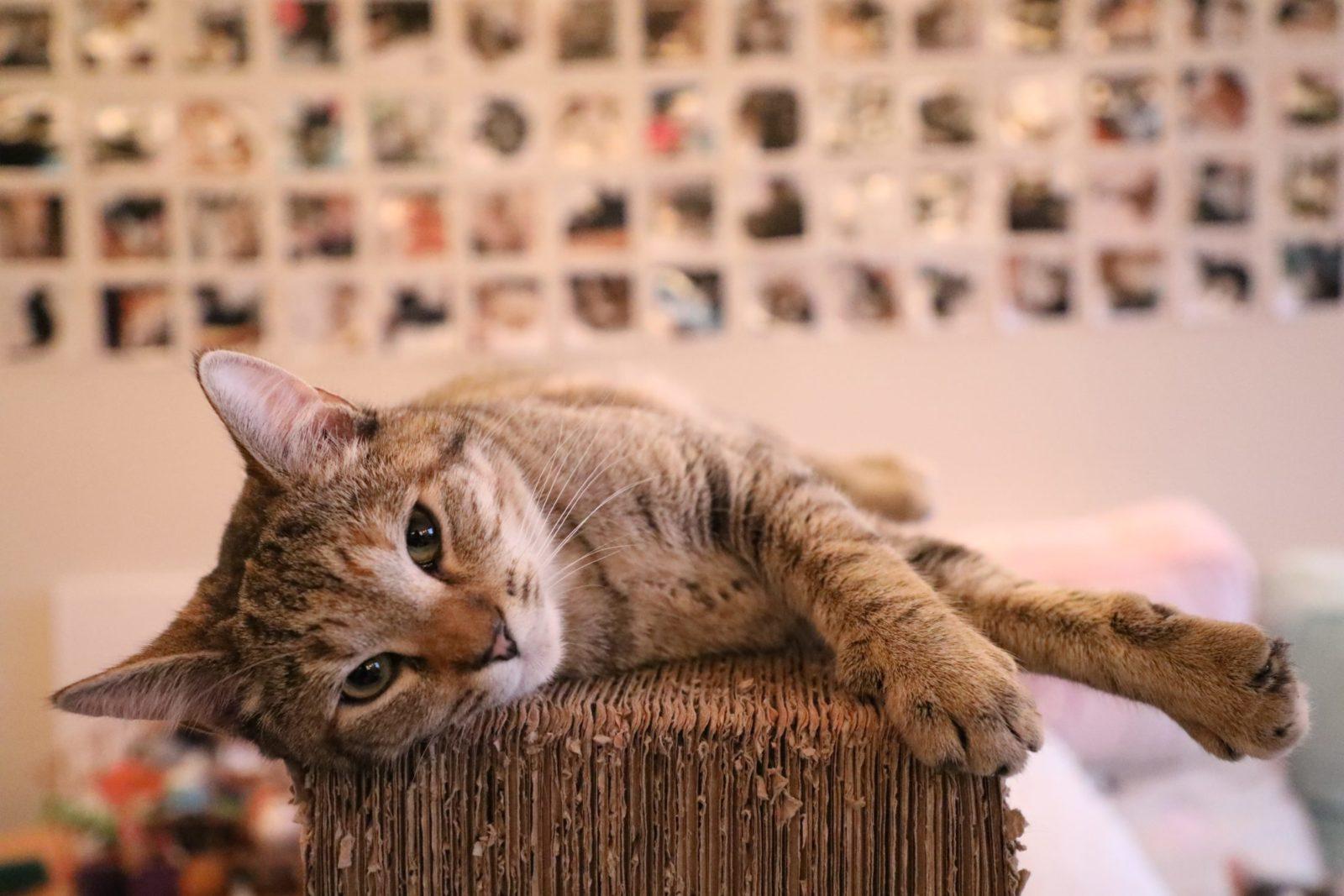 gatinho em cima de um arranhador para gato de papelão