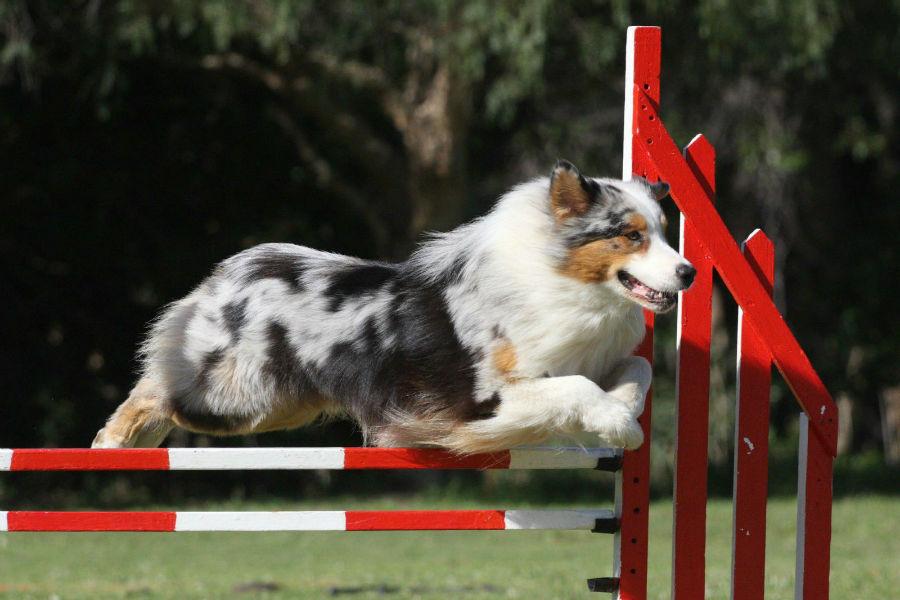 atividade-preferida-esporte-canino