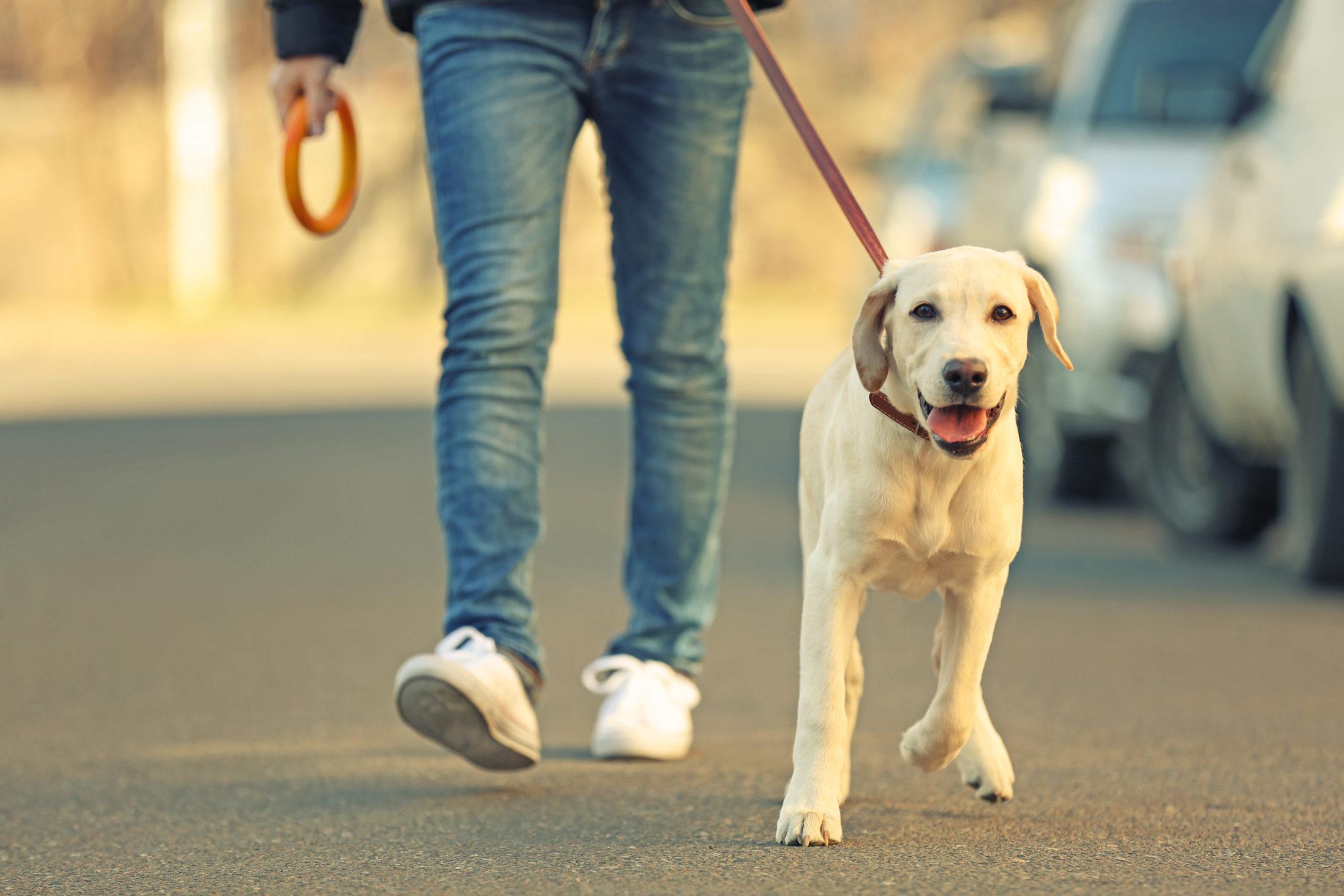 atividades para cachorro - dono passeando ocm labrador na coleira ao seu lado