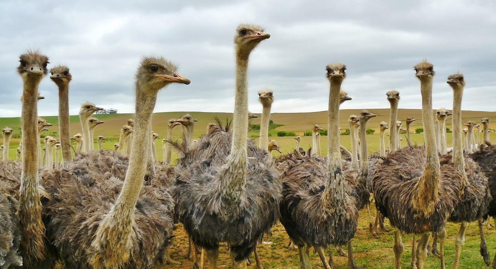 Ao primeiro sinal de perigo o avestruz corre em disparada.