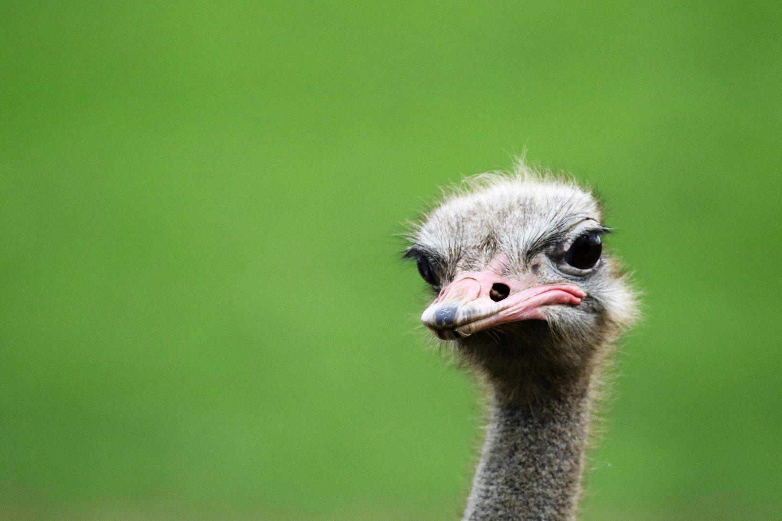 Ao se alimentar, o avestruz engole até pedra.