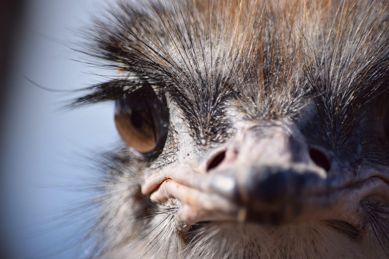 A carne do avestruz é muito apreciada e altamente saborosa.