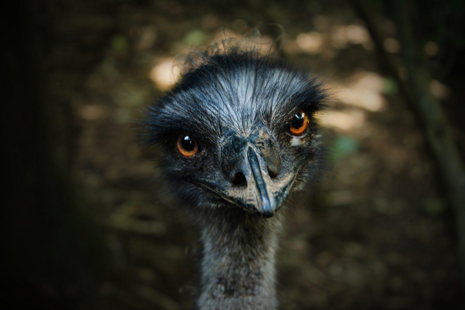 Biologicamente, o avestruz é intrigante.
