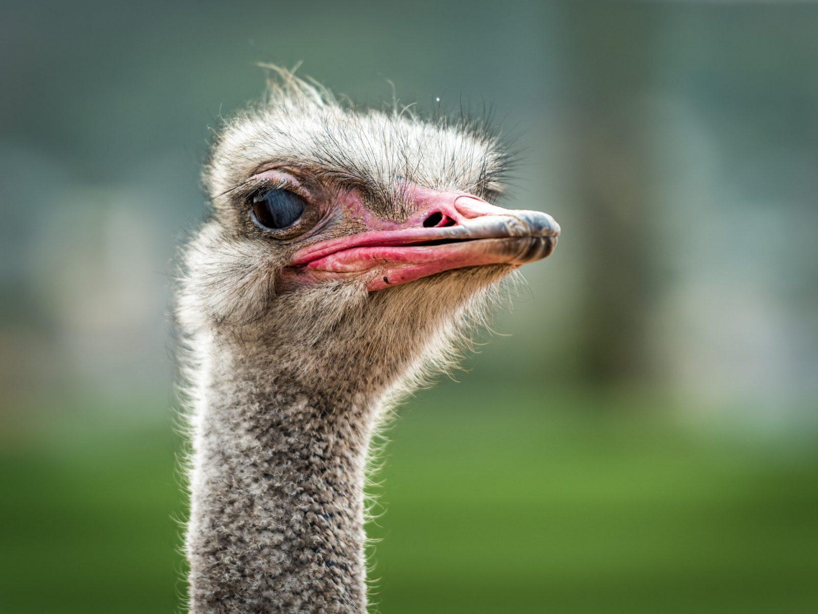O avestruz possui hábitos excêntricos e hilários.