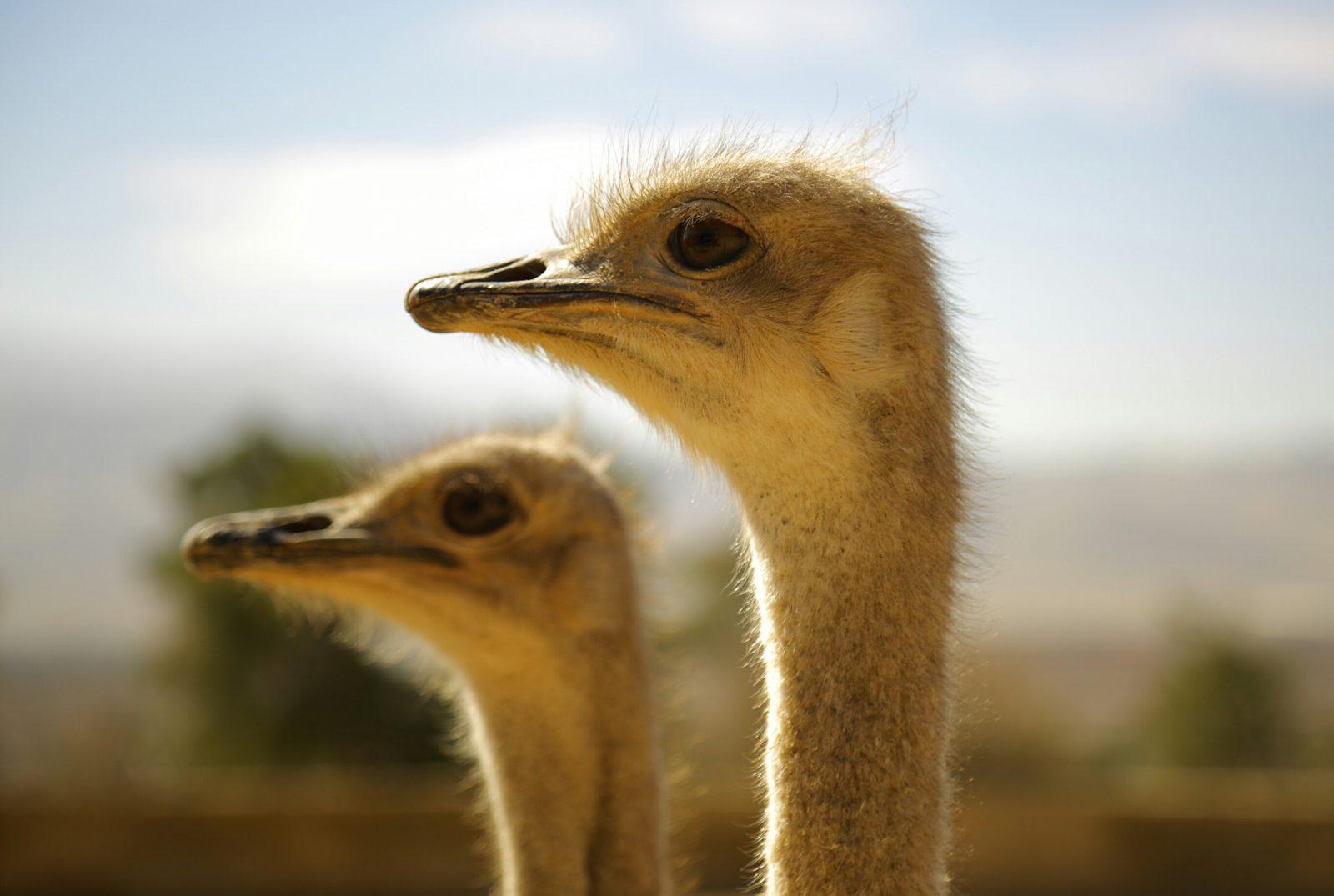 O avestruz é um animal onívoro.