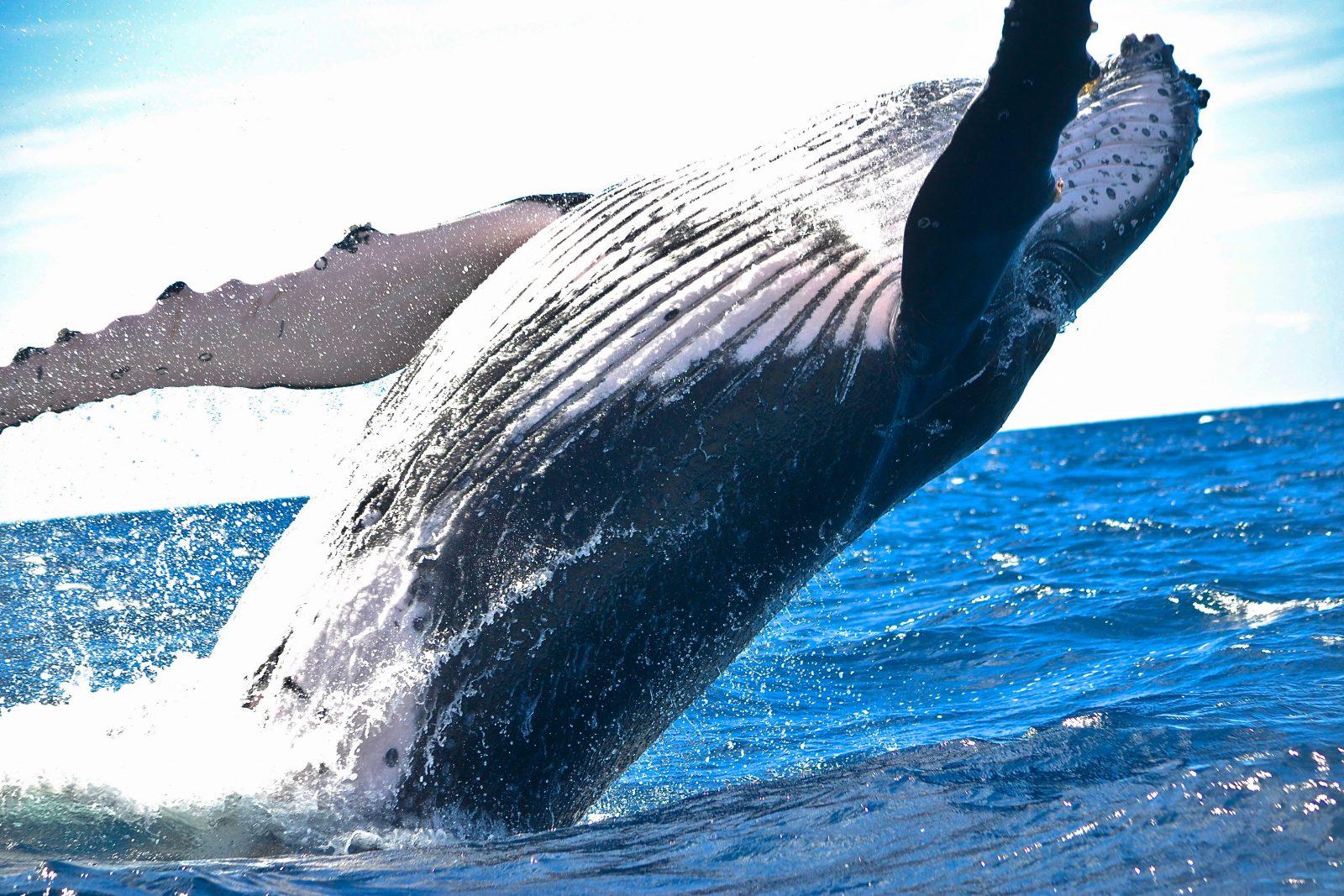 baleia jubarte cinza escura com manchas brancas