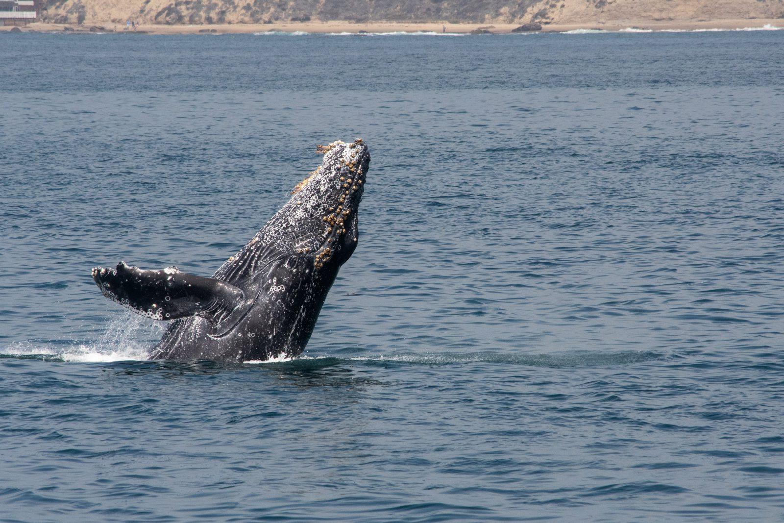 baleia jubarte se reproduz como todo mamífero