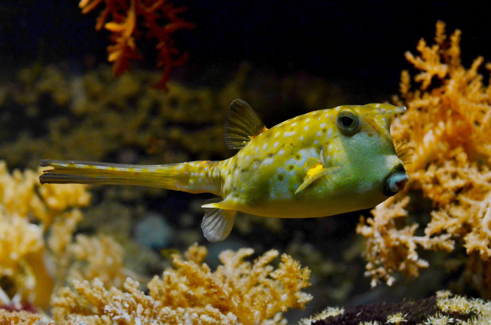 O peixe feio ou ornamental possui inúmeras características exóticas.