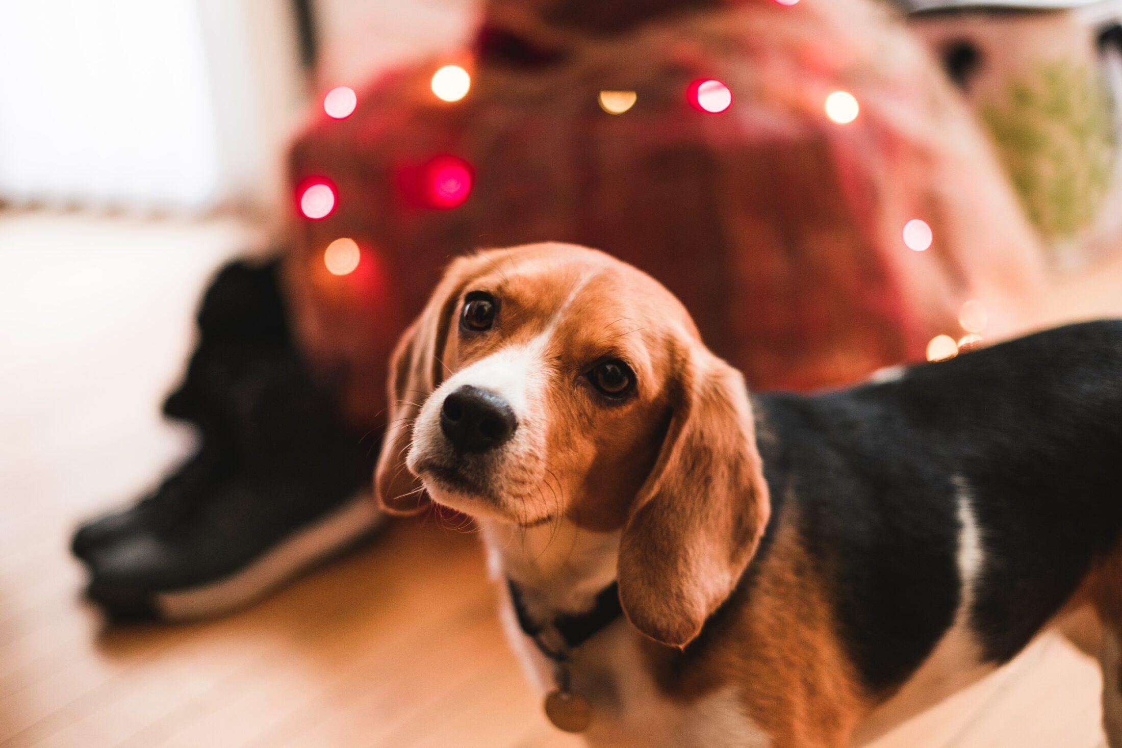 cachorros para idosos beagle