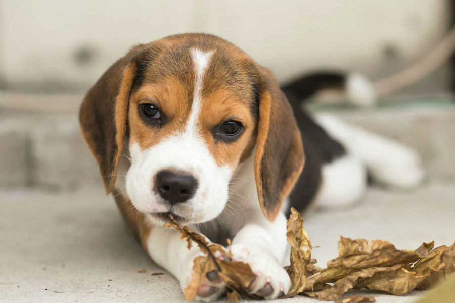 beagle-ambiente-ideal