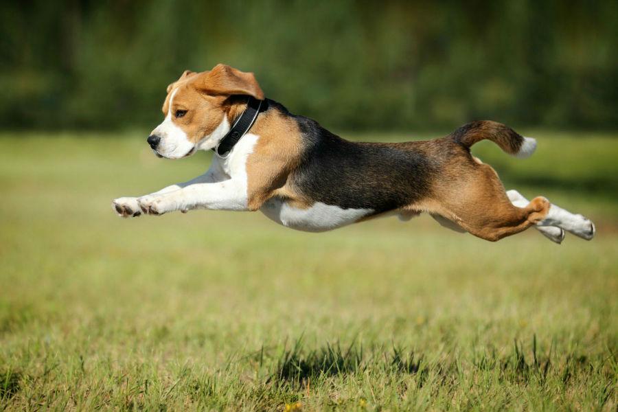 beagle-atividade