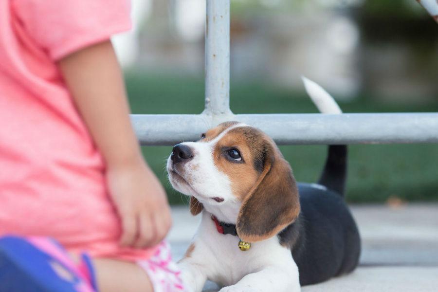 cachorro-beagle-temperamento