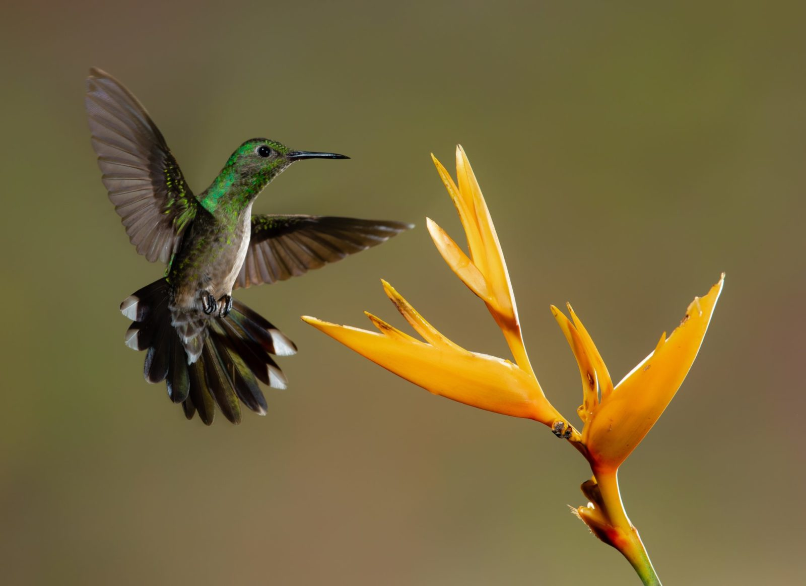 O ninho do beija-flor é construído pela fêmea