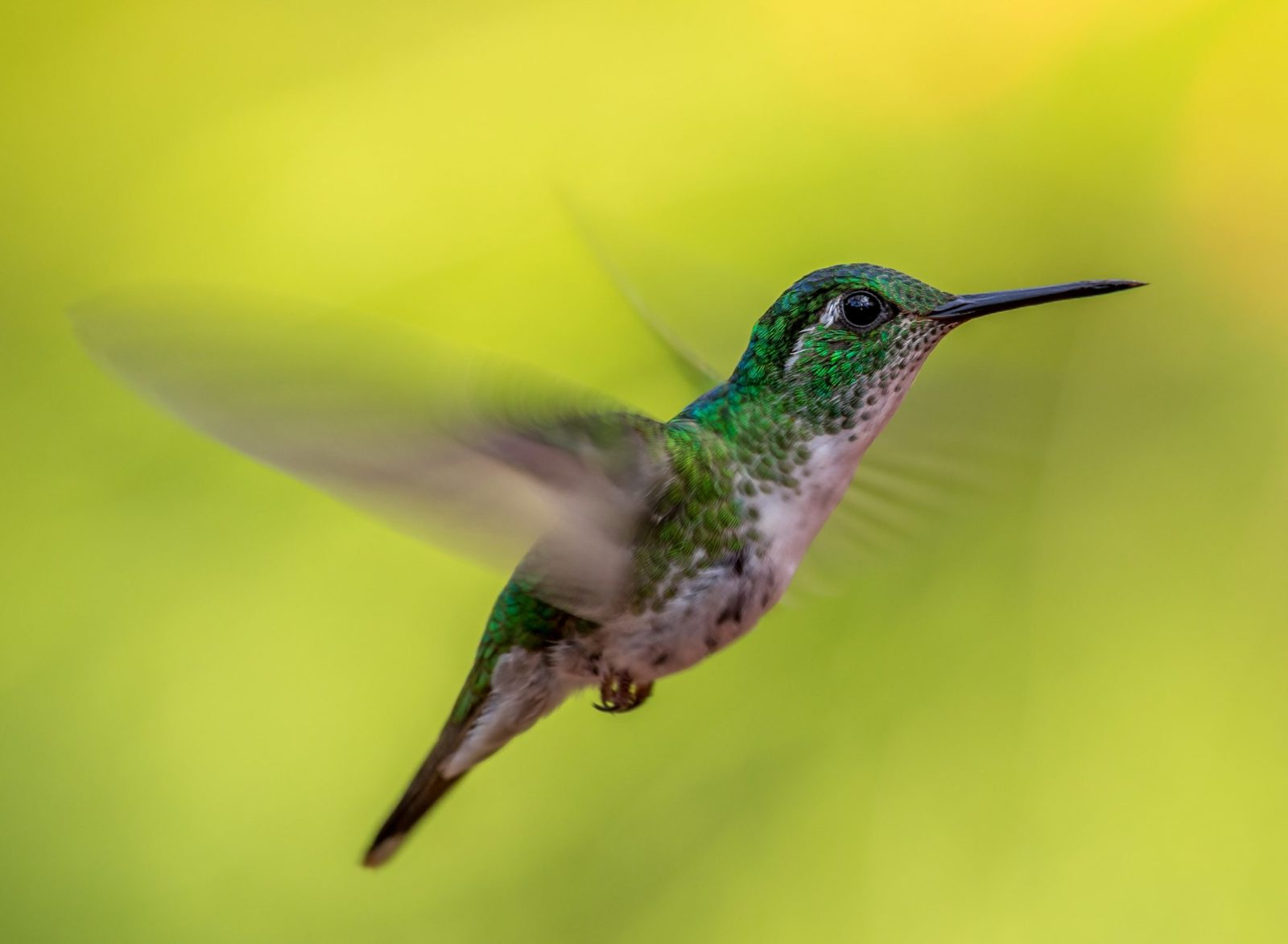 O Beija-flor é um pássaro muito rápido e territorialista.
