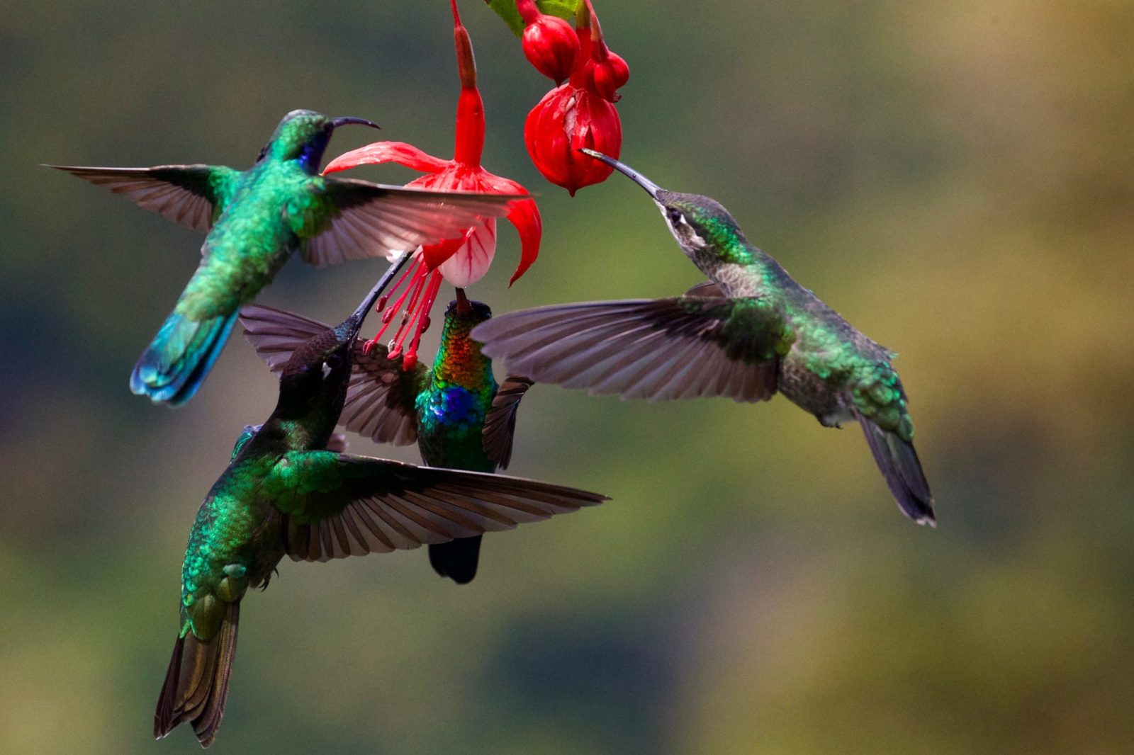 O beija-flor é, sem dúvida, umas das aves mais populares do Brasil.