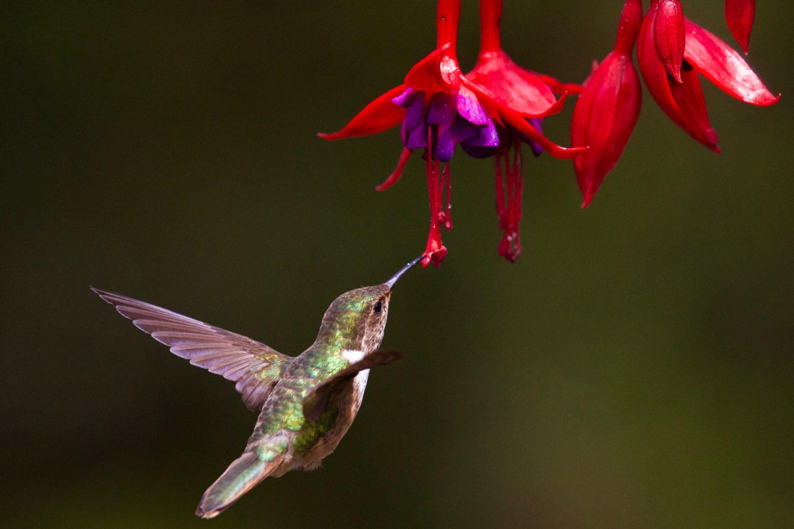 O beija-flor vive nas matas, capoeiras, cerrados, campos naturais e outros tipos de vegetação.