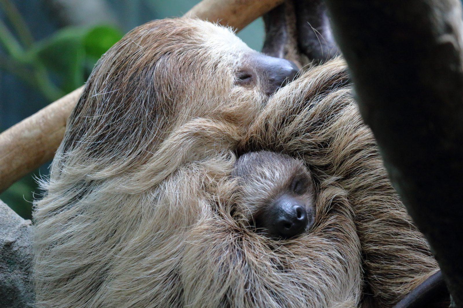 O bicho preguiça é uma animal dócil e amável de garras poderosas.