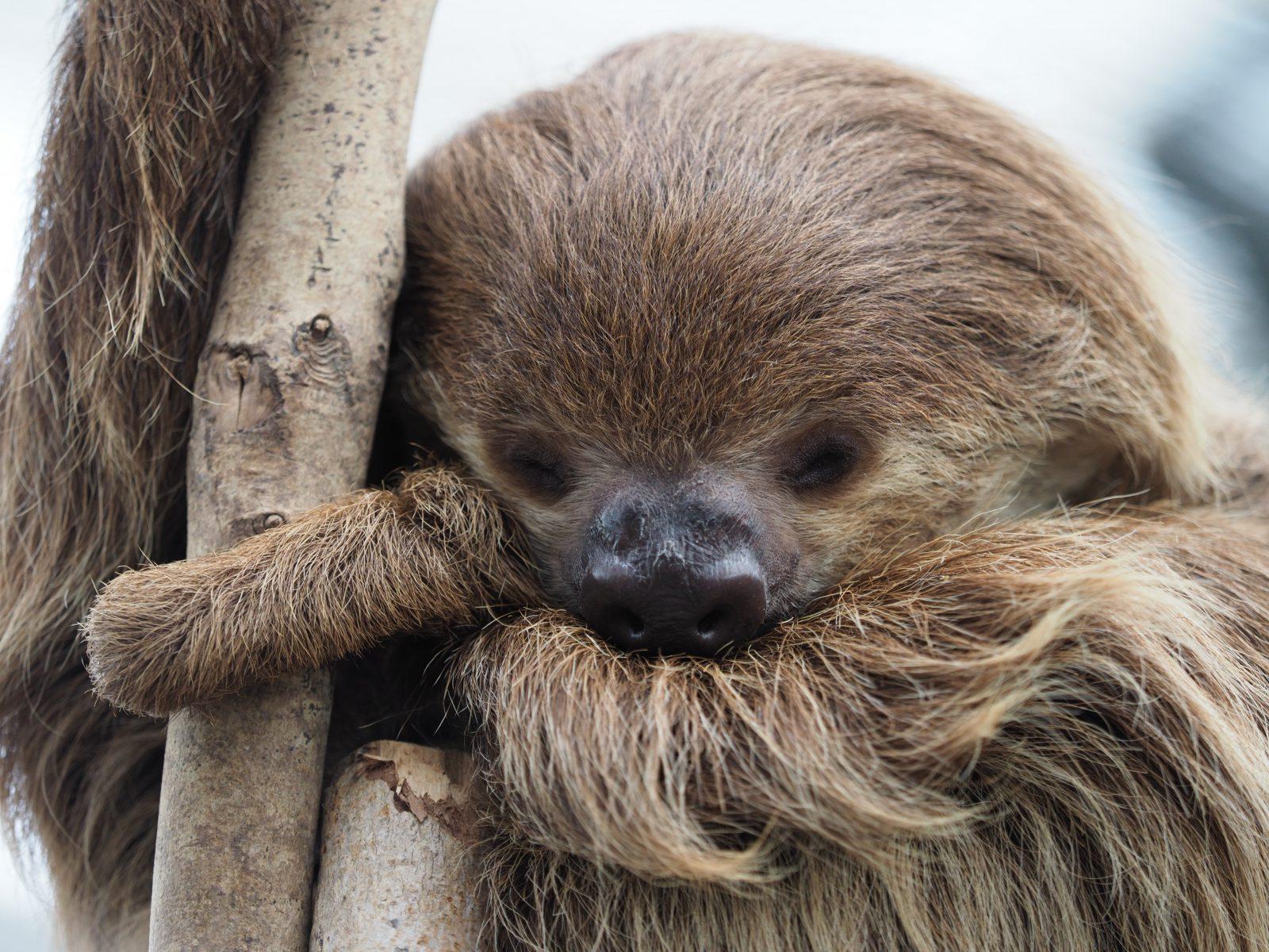 A característica mais marcante do bicho preguiça é a sua movimentação lenta.