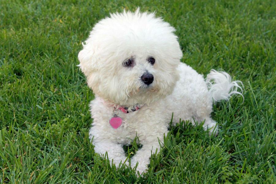 cachorro-bichon-frise-ambiente-ideal
