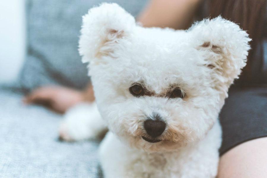 Cachorro pequeno: Filhote de Bichon frisé parecendo um ursinho de pelúcia.