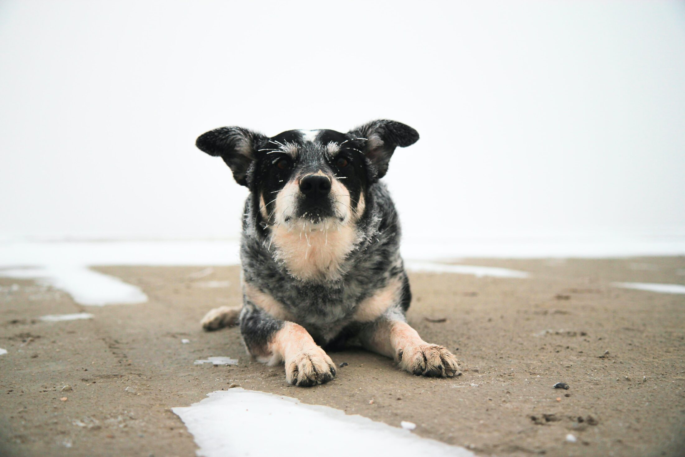 cachorro porte médio: boiadeiro australiano