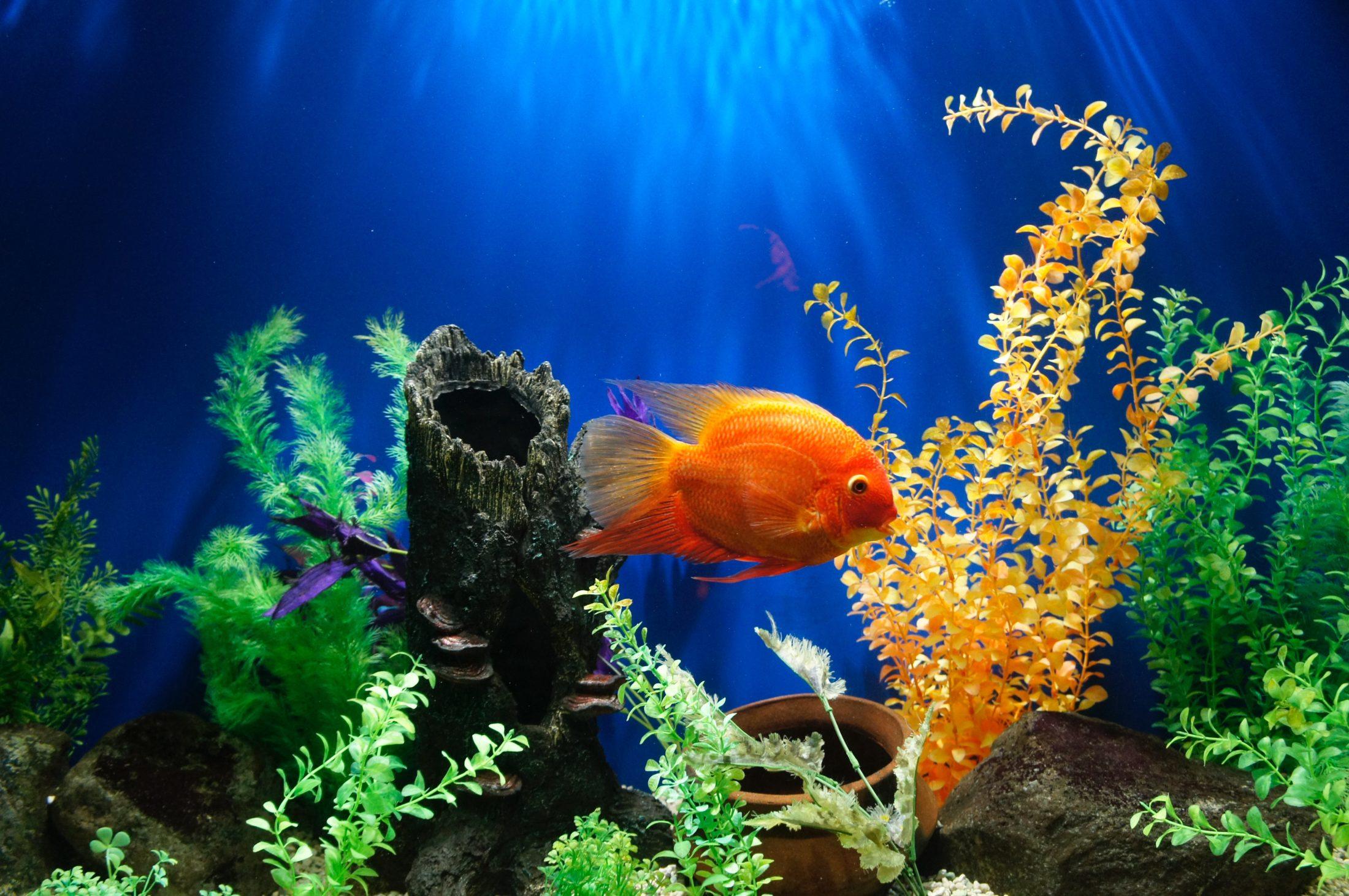 A bombinha de aquário pode trazer muitas vantagens.