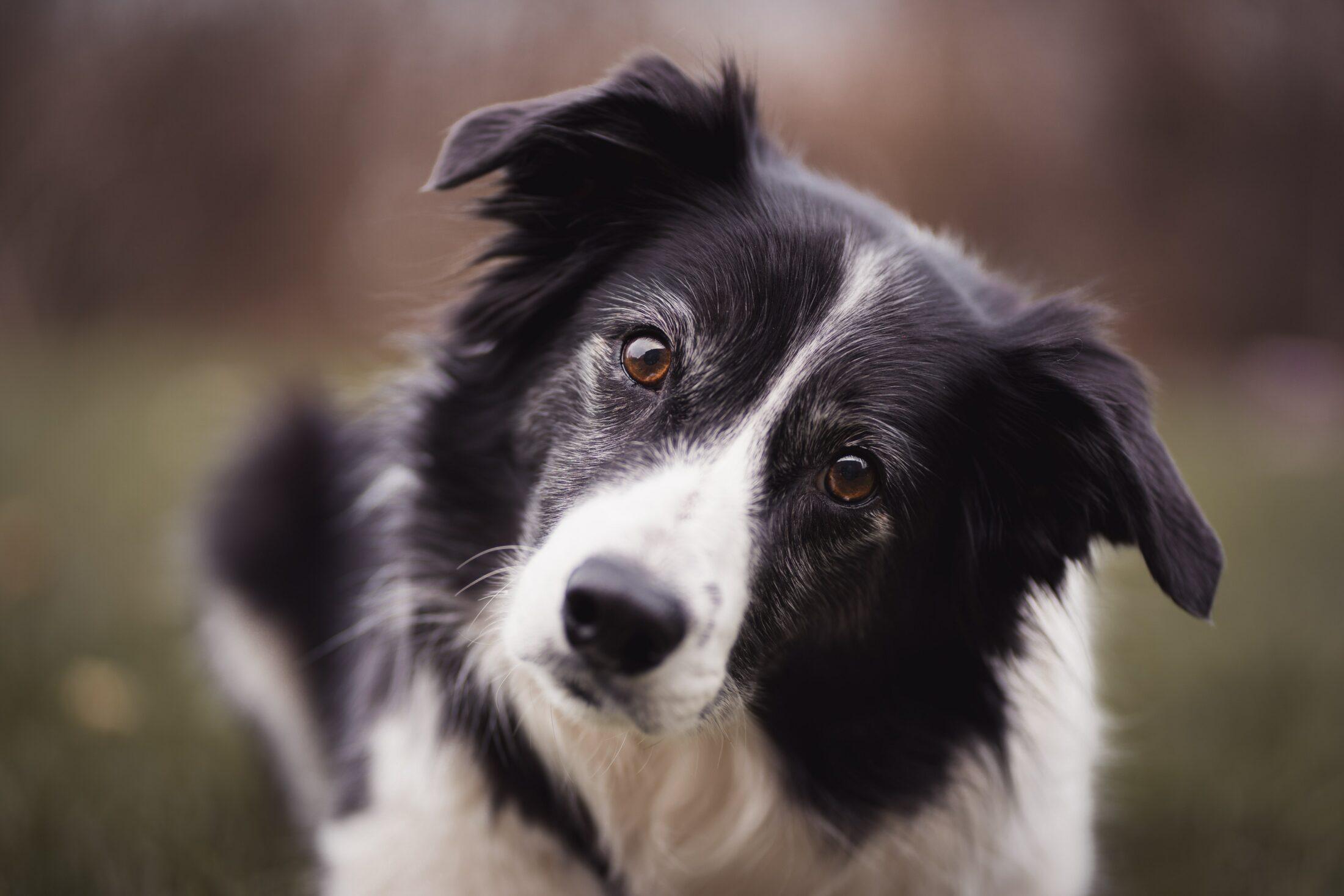 cachorro porte médio: border collie