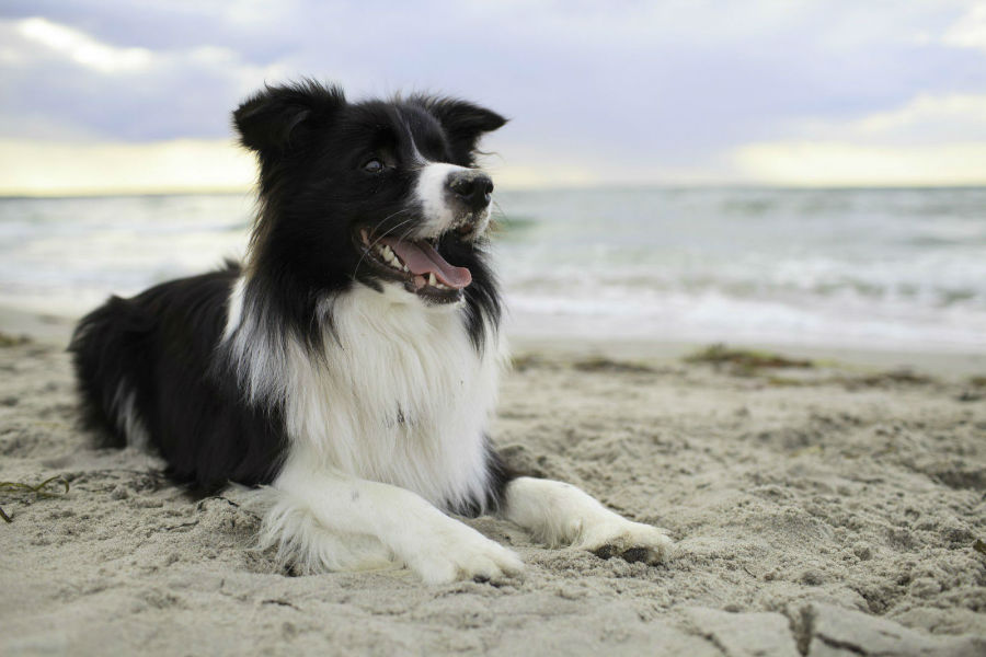 border-collie-ambiente