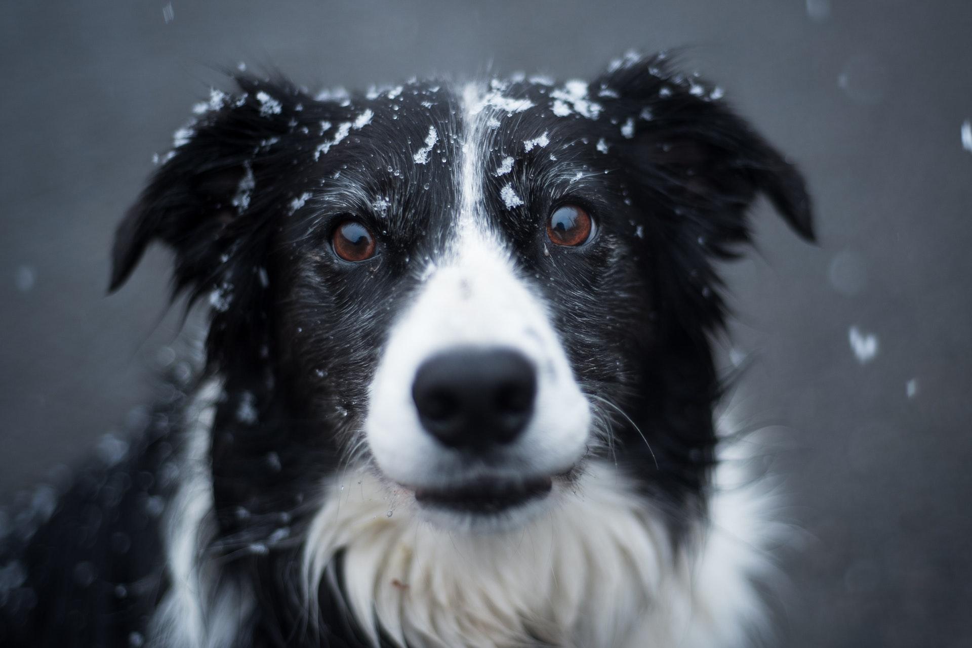 raça de cachorro mais inteligente: border collie