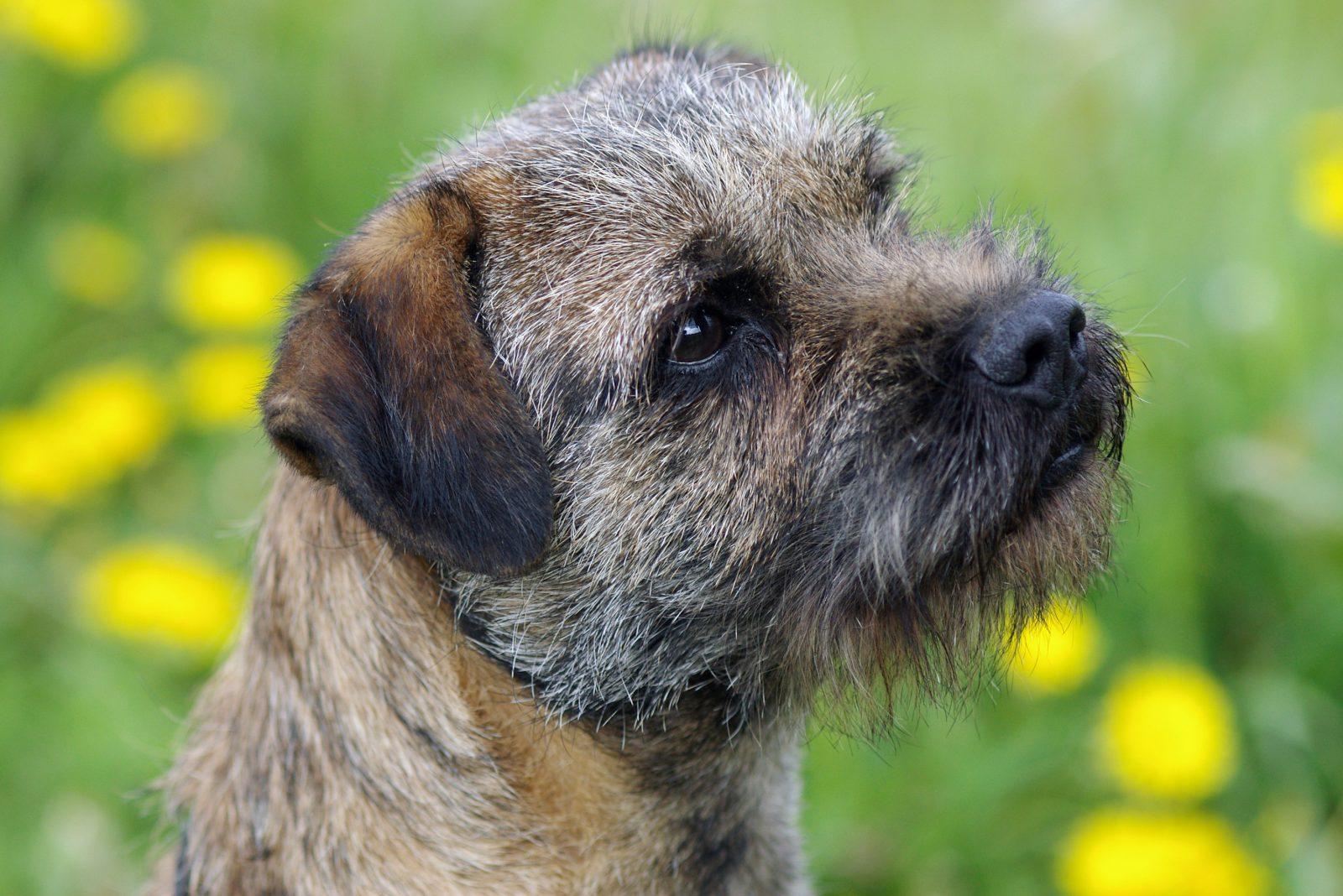 border-terrier-cuidados