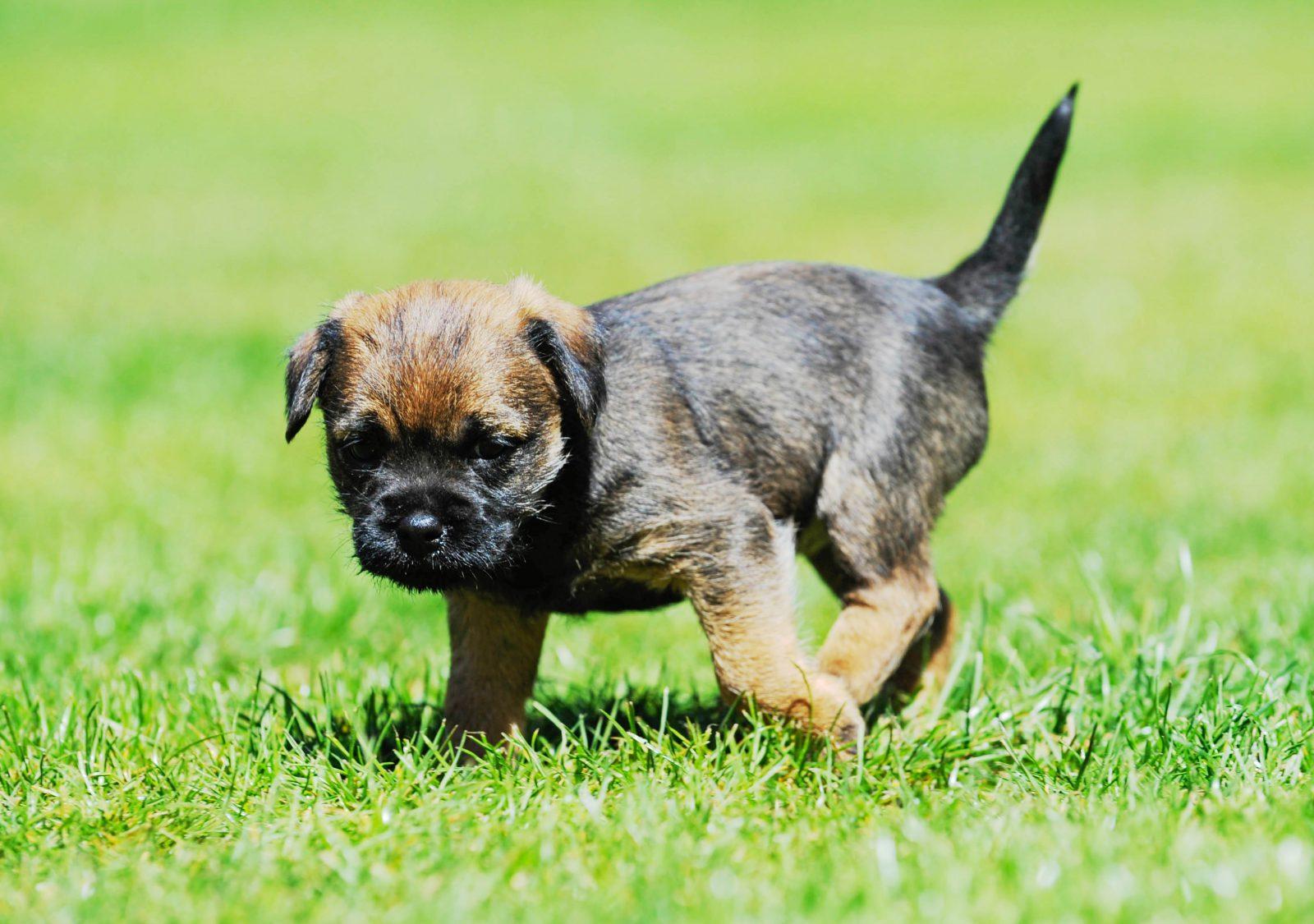 border-terrier-treinamento