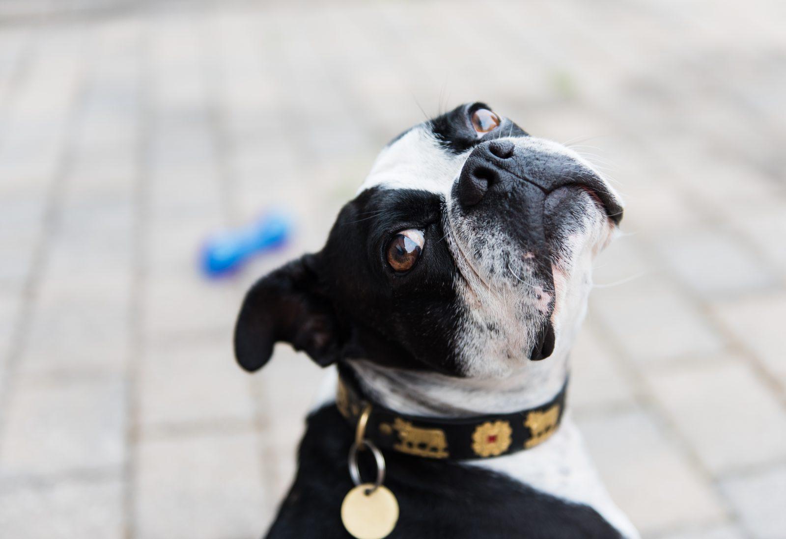fatos-curiosos-cachorros-placas-identificacao-boston-terrier