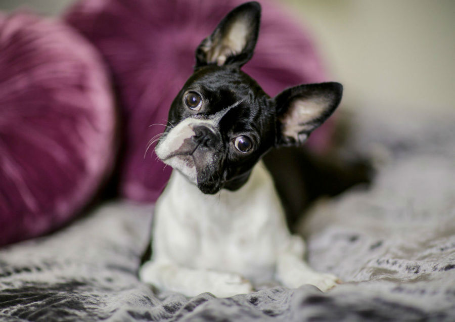 cachorro-boston-terrier-ambiente-ideal