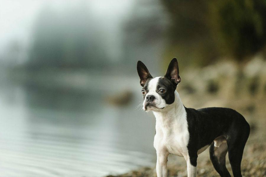cachorro-boston-terrier-atividades