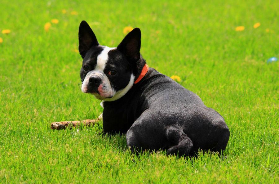 cachorro-boston-terrier-cuidados