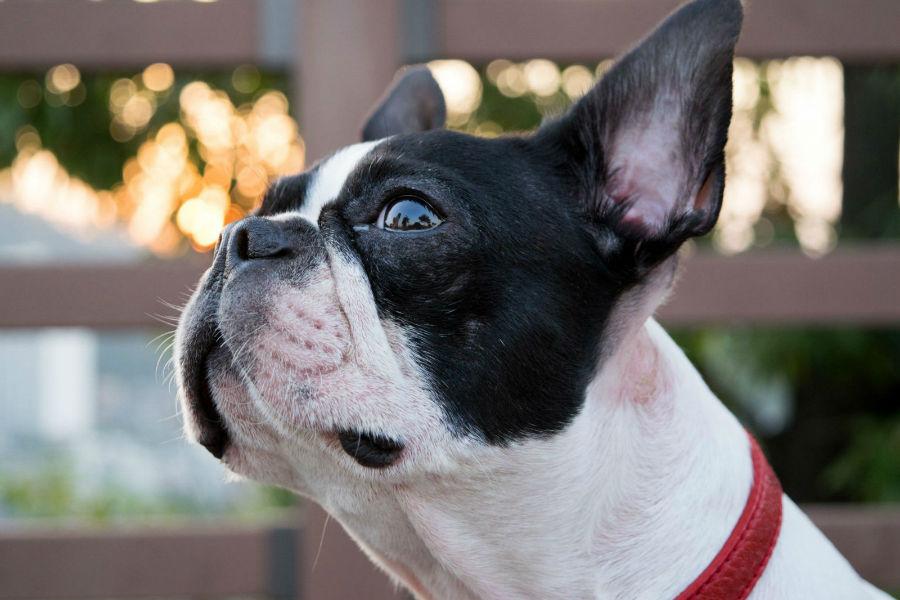 cachorro-boston-terrier-treinamento