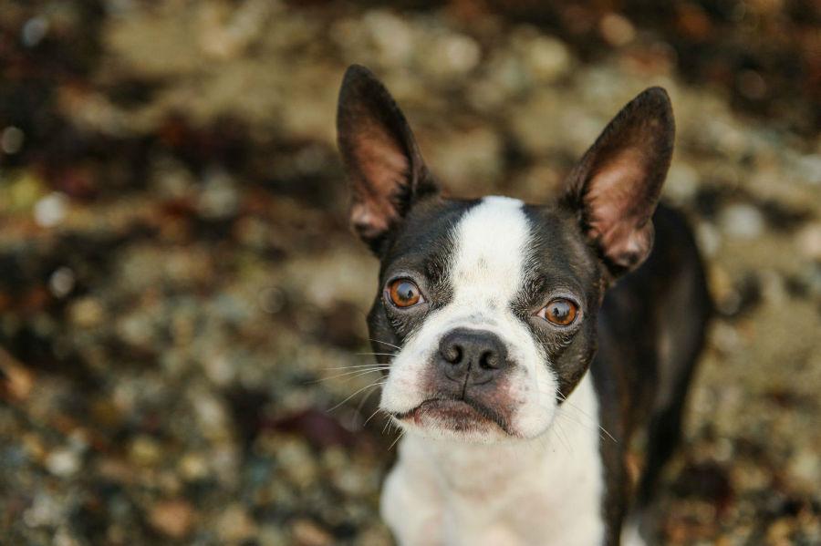 Cachorro pequeno: Boston Terrier filhote no jardim