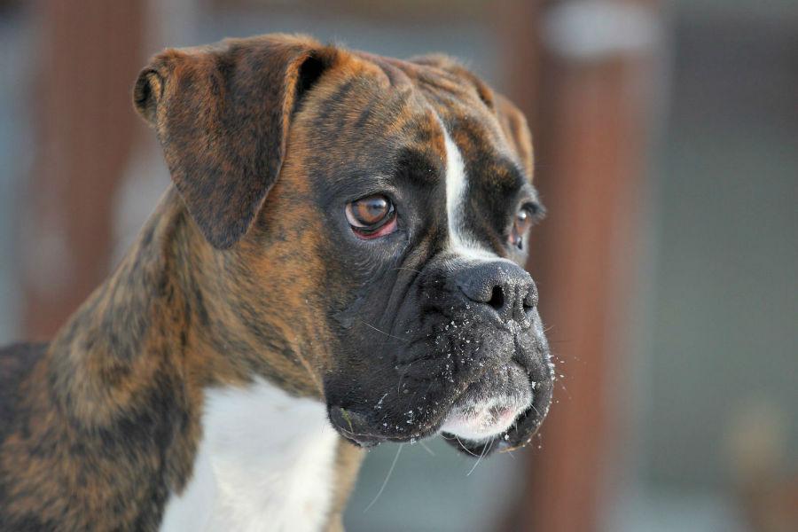 boxer-aparencia