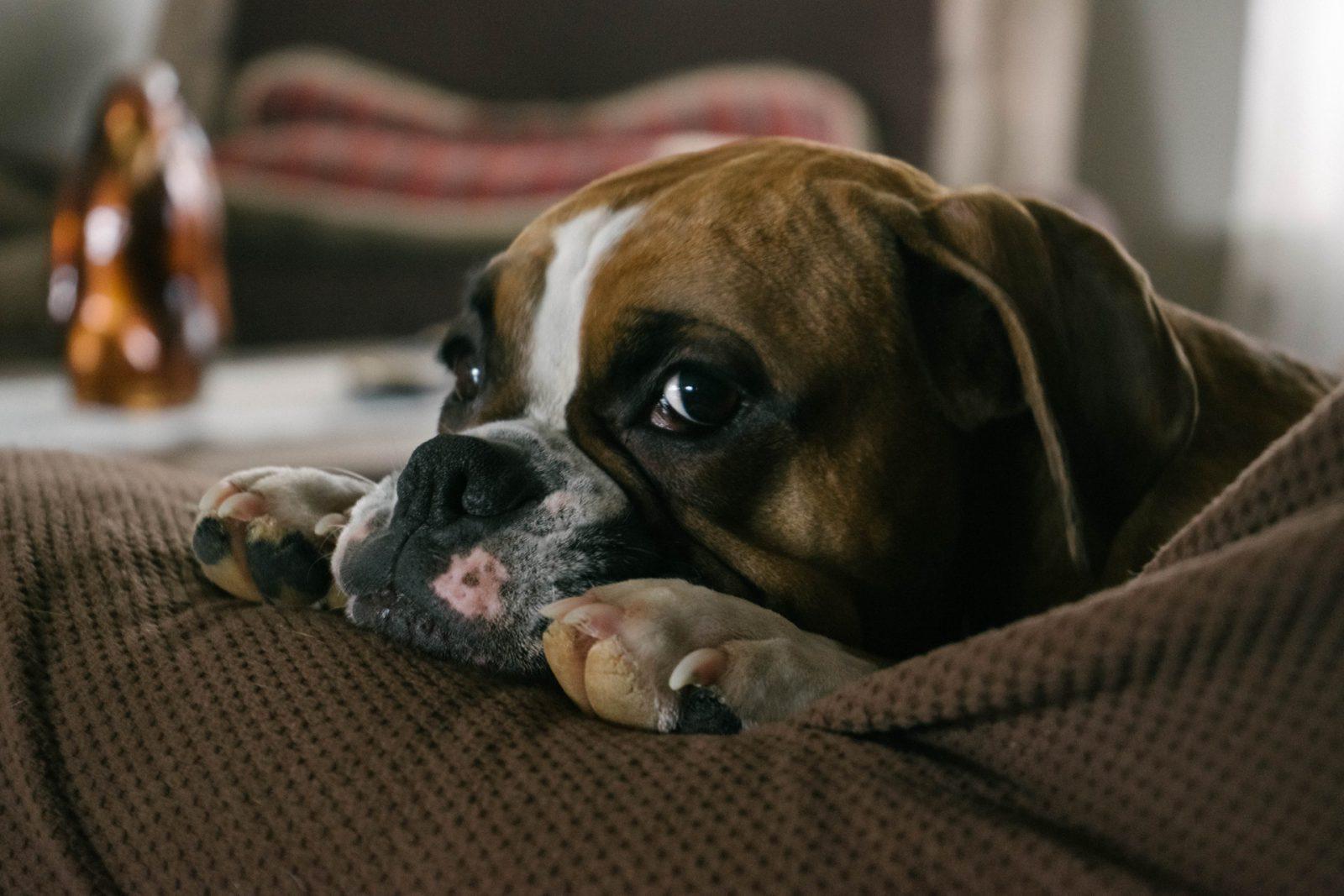 O Boxer está entre os cachorros que roncam bastante.