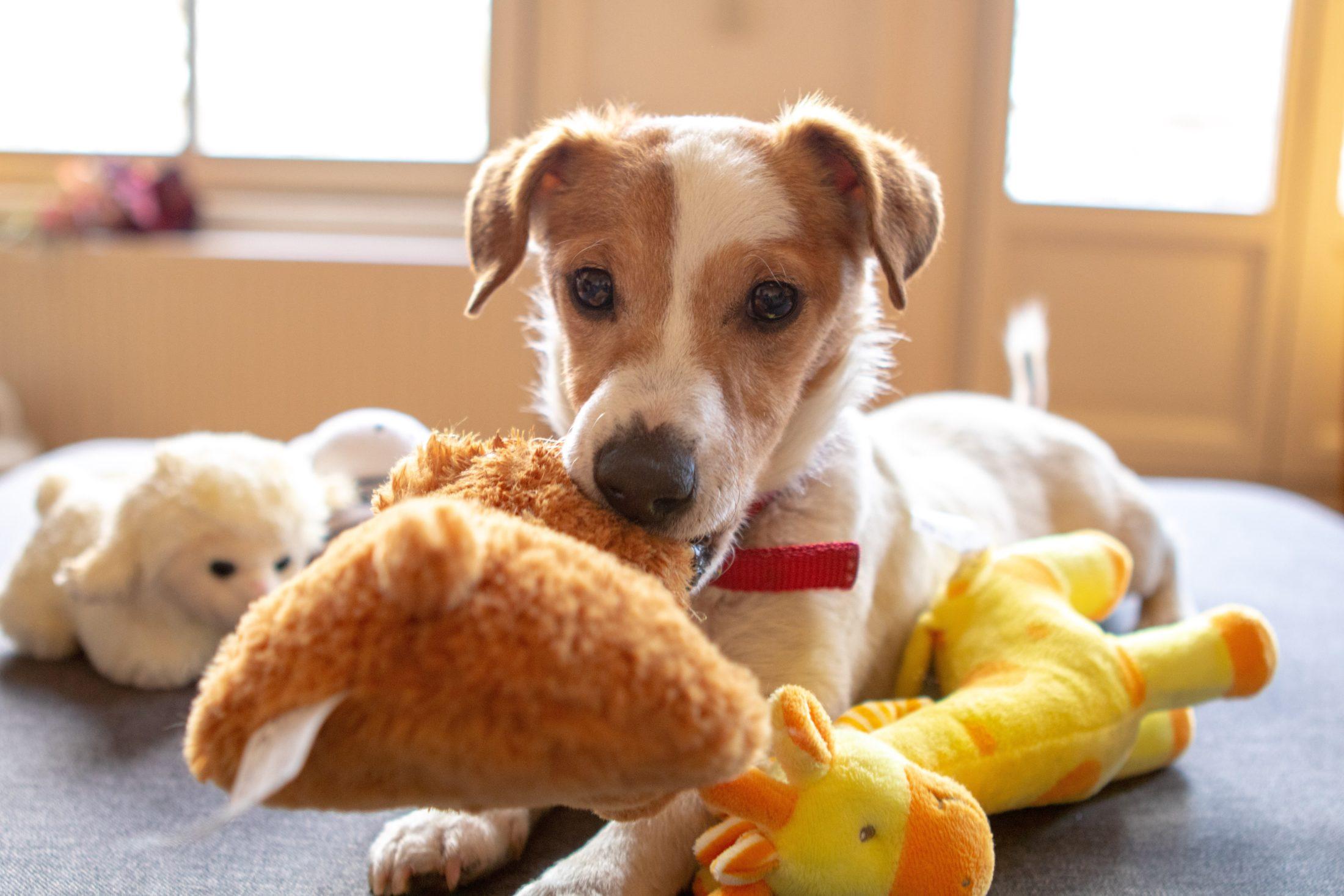 Ensinar a guardar os brinquedos depois das brincadeiras com cachorro é excelente treinamento.
