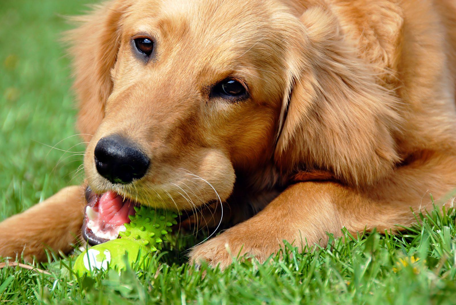 Brinquedos para cachorros: Golden retriever roendo um brinquedo de mastigar no gramado.